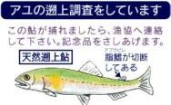 鮎の遡上調査